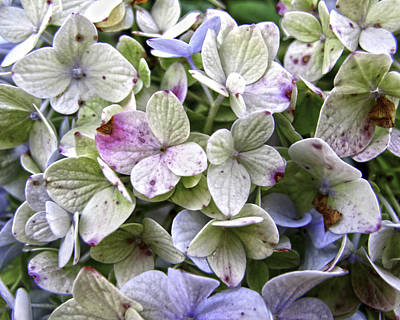 Shabby Hydrangea Print by Rose  Fleming