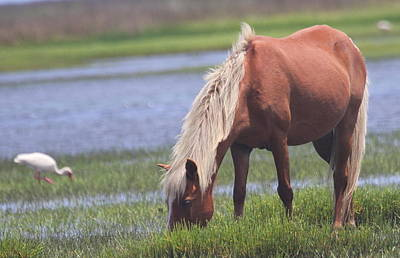 Shackleford Banks Ponies 2014 19 Print by Cathy Lindsey