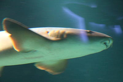 Shark - National Aquarium In Baltimore Md - 121224 Print by DC Photographer