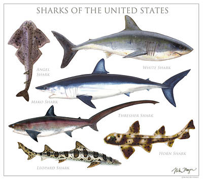Sharks Of The United States Print by Nick Mayer