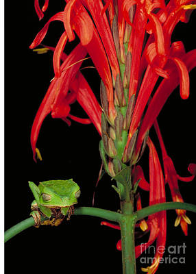 Frogs Photograph - Sharp-backed Monkey Tree Frog by Art Wolfe