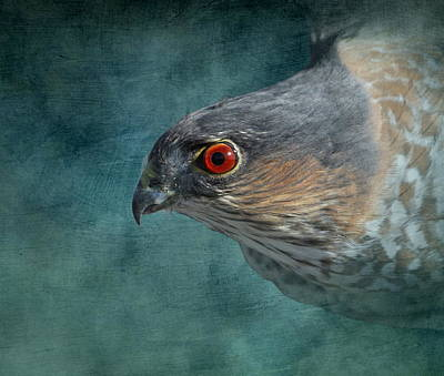 Sharpie Photograph - Sharp Shinned Hawk by Angie Vogel