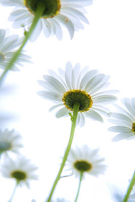 Underneath Photograph - Shasta Daisies by Diane Diederich