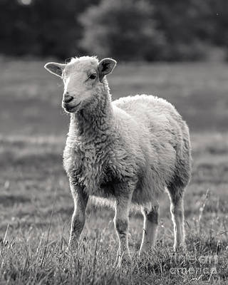 Sheep Photograph - Sheep Art  by Lucid Mood