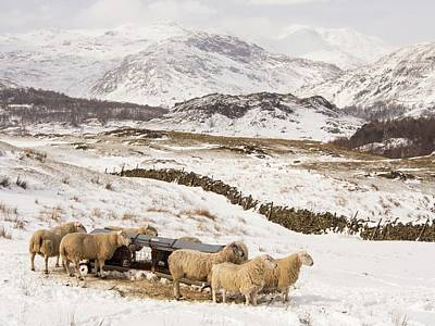 Drifting Snow Photograph - Sheep Brave The Extreme Weather by Ashley Cooper