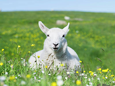 Baby Wool Photograph - Sheep (cheviot) On The Isle Of Harris by Martin Zwick