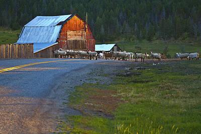 Barn Photograph - Sheep Crossing by Theresa Tahara