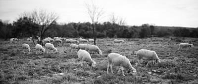 Sheep Graze Print by Laurent Fox