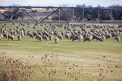 Snow Forts Photograph - Sheep Grazing Under An Irrigation Boom by Jim West