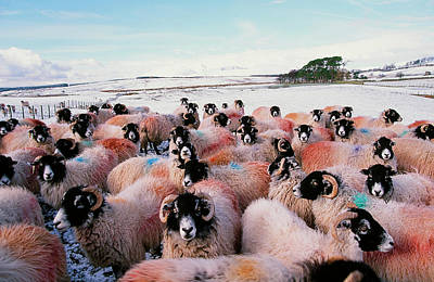 Anticipation Photograph - Sheep In Snow In The Lake District Uk by Ashley Cooper