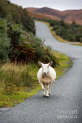 Sheep Print by Jane Rix