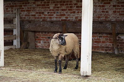 Sheep - Mt Vernon - 01132 Print by DC Photographer