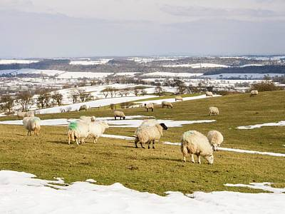 Drifting Snow Photograph - Sheep On Hope Bowdler Hill by Ashley Cooper