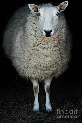 Contemplative Photograph - Sheep by Stephanie Frey