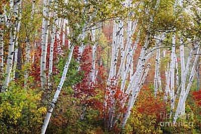Shelburne Birch Print by Jim Block