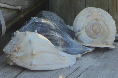 Shells Of Portsmouth Island Print by Cathy Lindsey