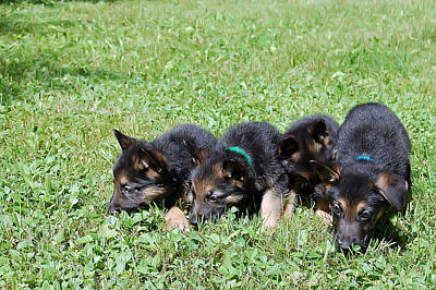 Puppies Photograph - Shepherd Pups 10 by Aimee L Maher Photography and Art Visit ALMGallerydotcom