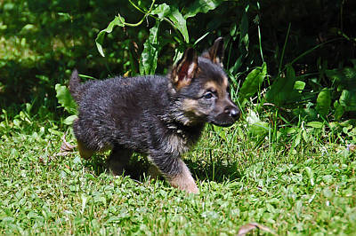 Puppy Photograph - Shepherd Pups 17 by Aimee L Maher Photography and Art Visit ALMGallerydotcom