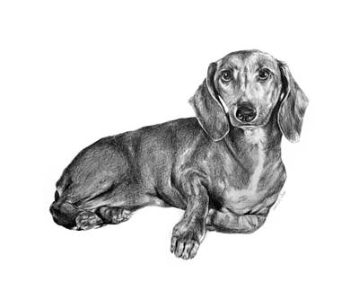 Doxie Drawing - Sherlock The Dachshund by Kinga Baransky