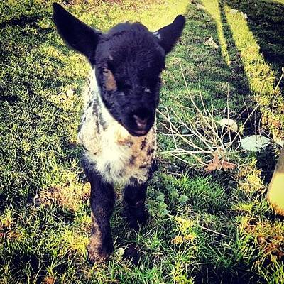 Sheep Photograph - Shes Growing Too Fast, Too Heavy To by Tahlia Paige