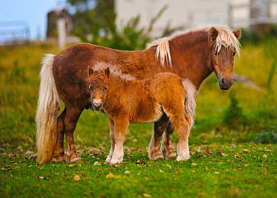 Shetland Pony Photograph - Shetland Ponies Standing On The Grass by Panoramic Images