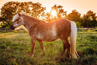 Shetland Pony Photograph - Shetland Pony by Alexey Stiop