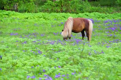 Shetland Pony Photograph - Shetland Pony by Jan Amiss Photography