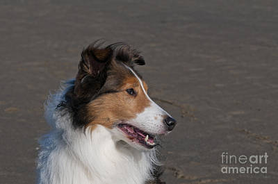Miniature Collie Photograph - Shetland Sheepdog On Beach by William H. Mullins