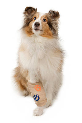 Shetland Sheepdog With Injured Leg Print by Susan Schmitz
