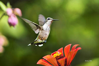 Shimmering Breeze Hummingbird Print by Christina Rollo