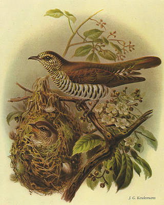 Cuckoo Painting - Shining Cuckoo by J G Keulemans