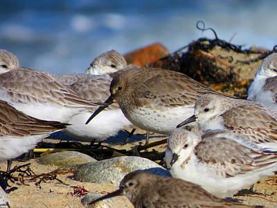 Shorebird's Huddle In The Wind Print by Dianne Cowen
