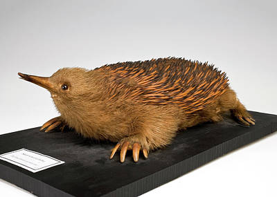 Short-beaked Echidna Print by Ucl, Grant Museum Of Zoology