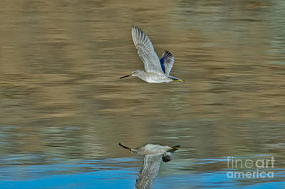 Dowitcher Photograph - Short-billed Dowitcher And Reflection by Anthony Mercieca