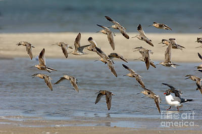 Dowitcher Photograph - Short-billed Dowitchers Flying by Anthony Mercieca