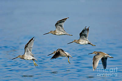 Dowitcher Photograph - Short-billed Dowitchers In Flight by Anthony Mercieca