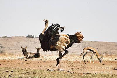Ostrich Photograph - Show-off V3 by Douglas Barnard