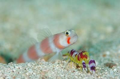 Shrimpgoby With Commensal Shrimp Print by Scubazoo