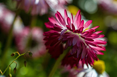 Shy Mum - Chrysanthemum Print by Jordan Blackstone