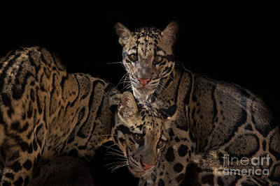 Clouded Leopard Photograph - Siamese Sisters by Ashley Vincent