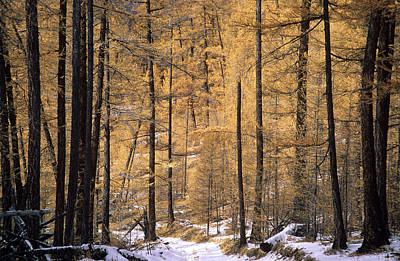 Siberia Photograph - Siberian Forest by Anonymous