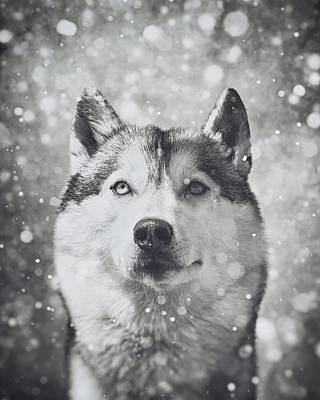 Siberian Husky In The Snow Print by Wolf Shadow  Photography