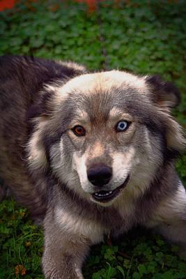 German Sheppard Mixed Media - Siberian Husky by Doc Braham