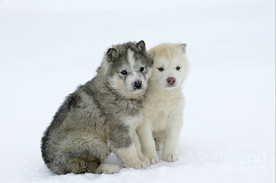 Dogs In Snow Photograph - Siberian Husky Puppies by M. Watson