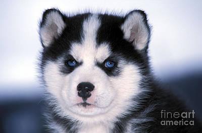 Siberian Husky Puppy Print by Rolf Kopfle