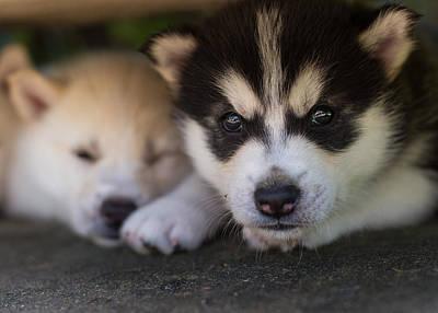 Siberian Husky Pups Print by Benita Walker