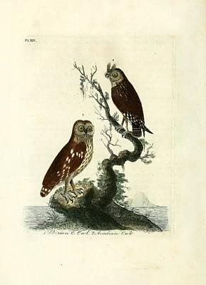 Professional Drawing - Siberian Owl And Acadian Owl by Philip Ralley