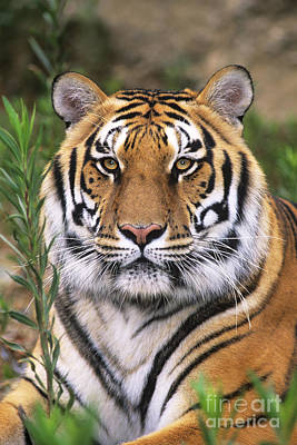 Siberian Tiger Staring Endangered Species Wildlife Rescue Print by Dave Welling