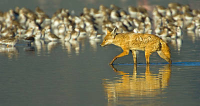 Side Profile Of A Golden Jackal Wading Print by Panoramic Images