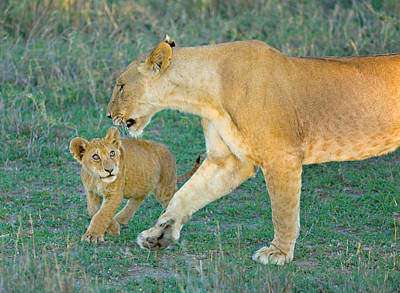 Side Profile Of A Lioness Walking Print by Panoramic Images